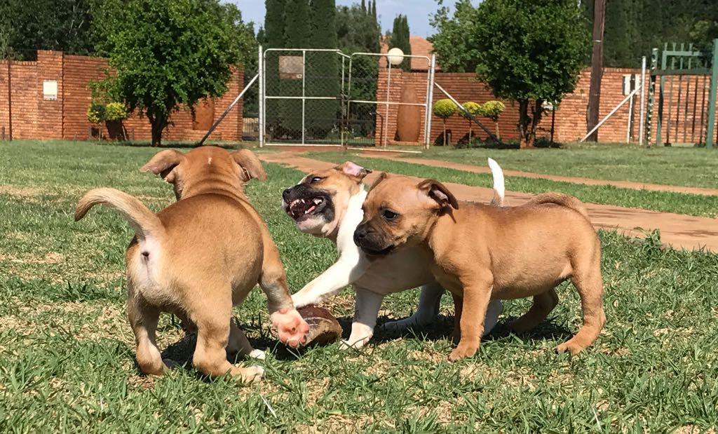 Braxton Staffordshire Terriers