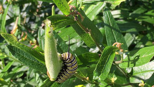 Video of Monarch Caterpillar Eating a Butterfly Weed Pod