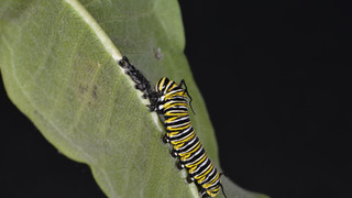 (10 of 10) Fourth Instar Caterpillar Eating Skin