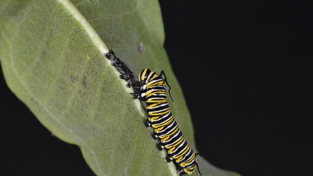 (11 of 11) Fourth Instar Caterpillar Eating Skin