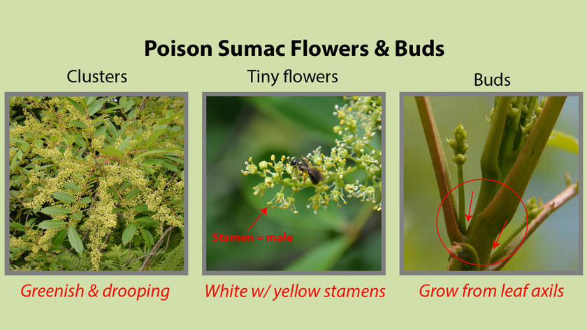 Poison Sumac Flowers and Buds