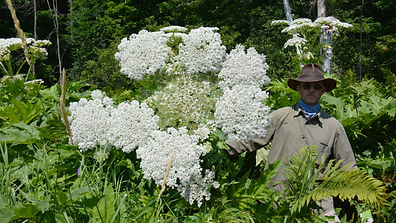 giantHogweed_DSC_0581.JPG