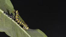(9 of 11) Fourth Instar Caterpillar Molting