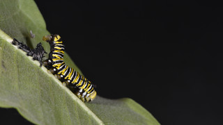(8 of 10) Fourth Instar Caterpillar Molting