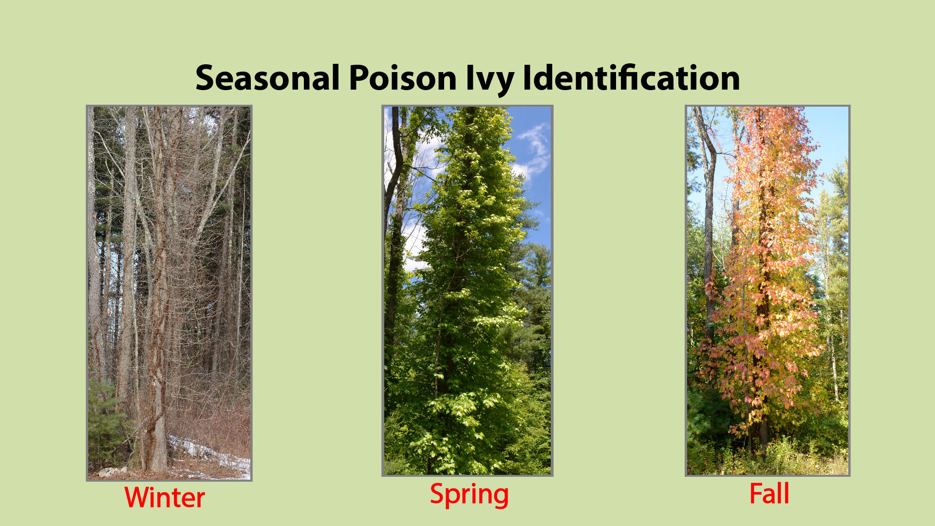 Poison Ivy Throughout the Seasons