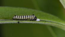 Second Instar Trenching