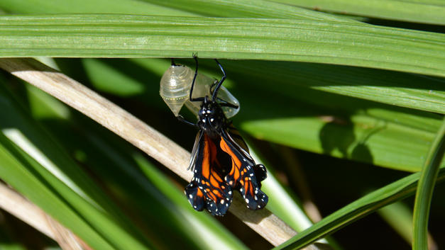 Recently Eclosed Monarch Butterfly