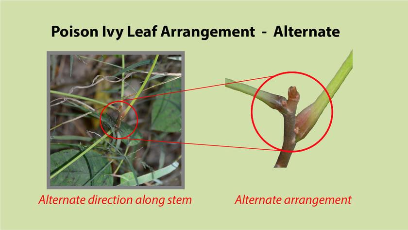 Poison Ivy Leaf Arrangement