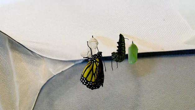 Monarch Chrysalis Eclosing (Emerging)