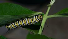 """Fifth Instar Caterpillar """"Flagging"""""""