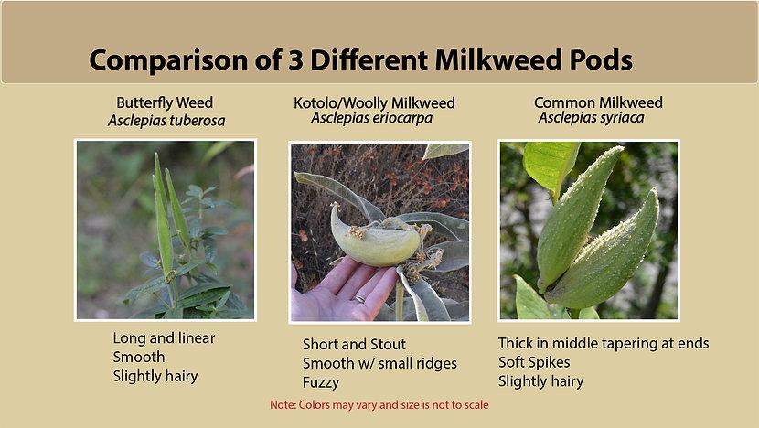 Comparison image of 3 Milkweed Pods