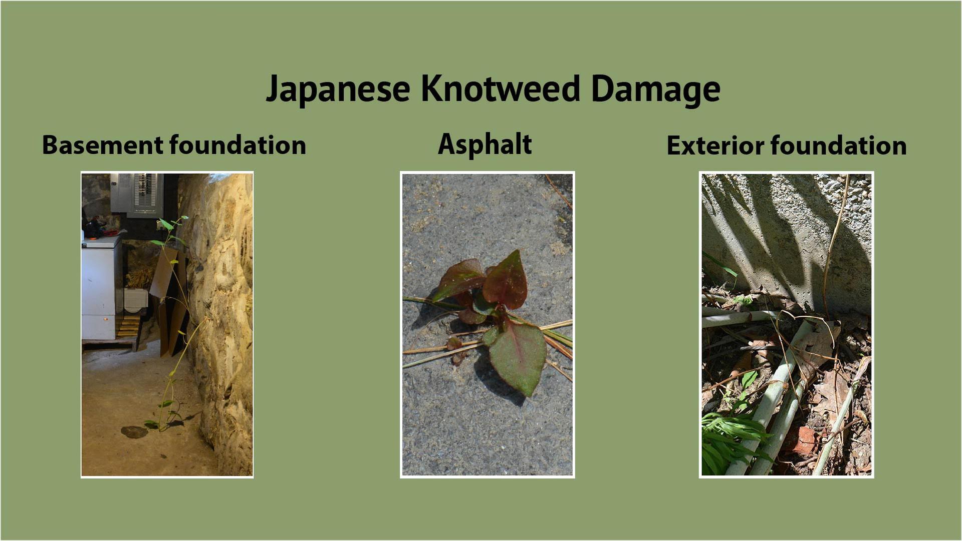 Japanese Knotweed Growth Habit