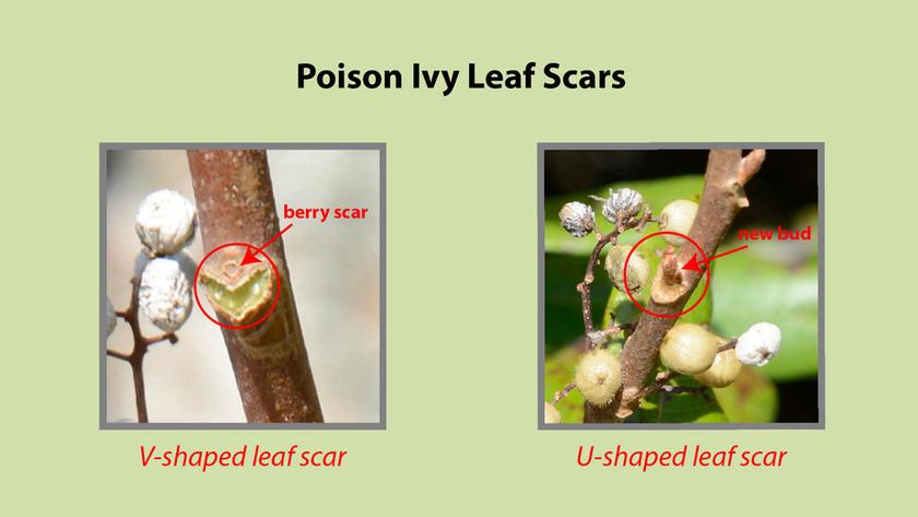 Poison Ivy Leaf Scars