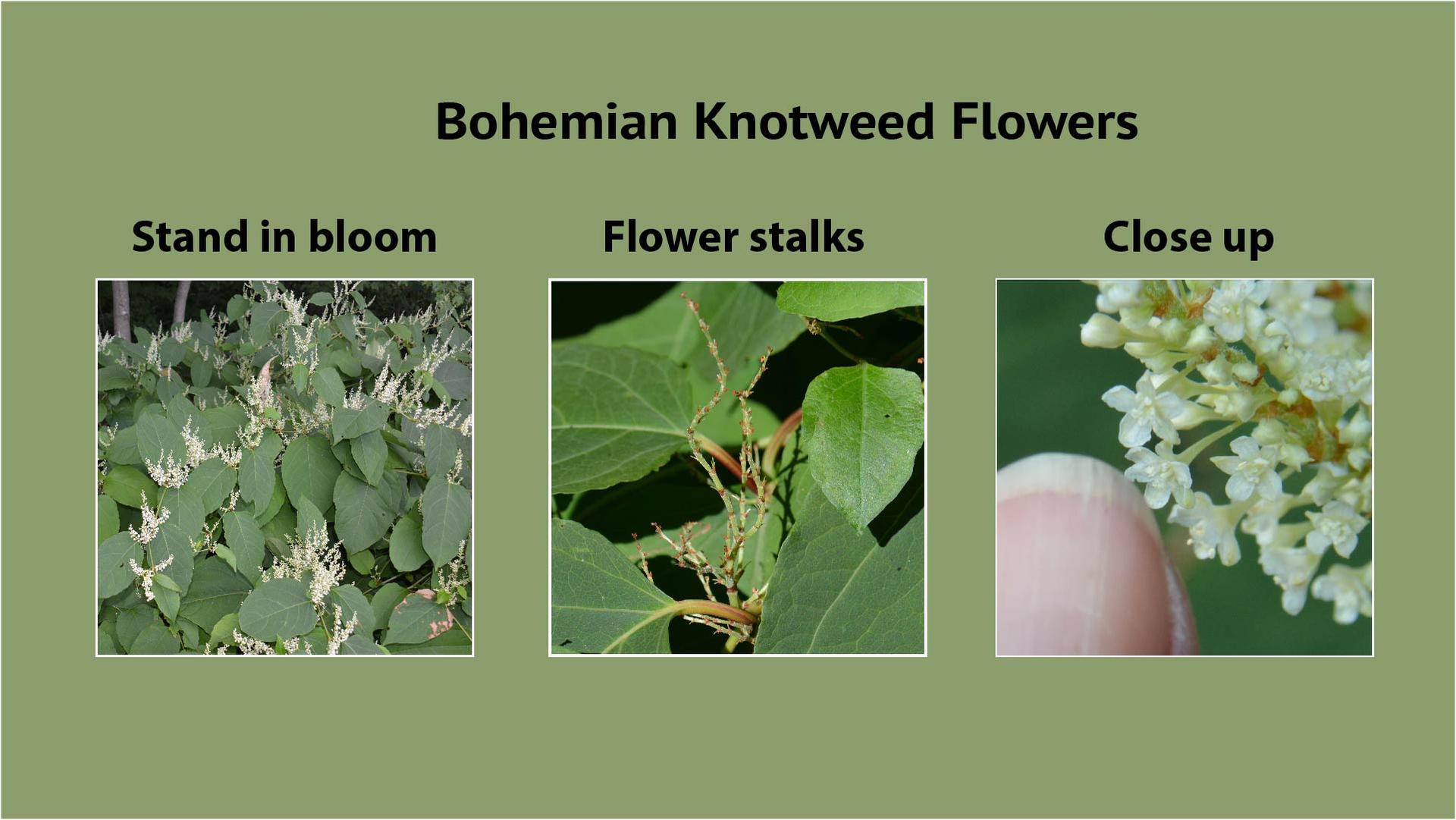 Bohemian Knotweed Flowers