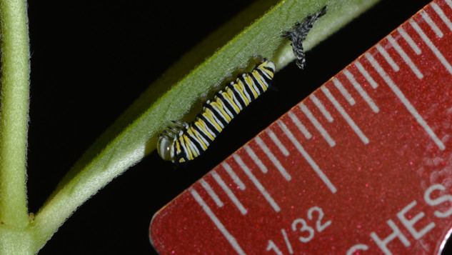 (5 of 7) Third Instar Filling with Fluid after Molting