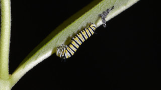 (2 of 7) Third Instar Filling with Fluid after Molting
