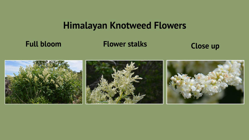 Himalayan Knotweed Flowers