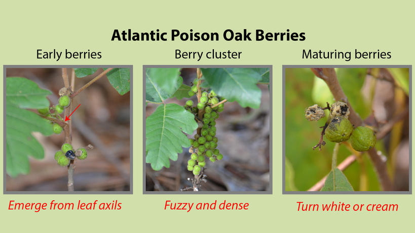 Atlantic Poison Oak Berries