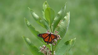 Male Monarch on Common Milkweed