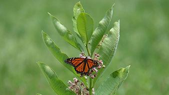 monarch_common_DSC_9459.JPG