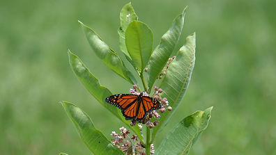 monarch_common_DSC_9459.JPG