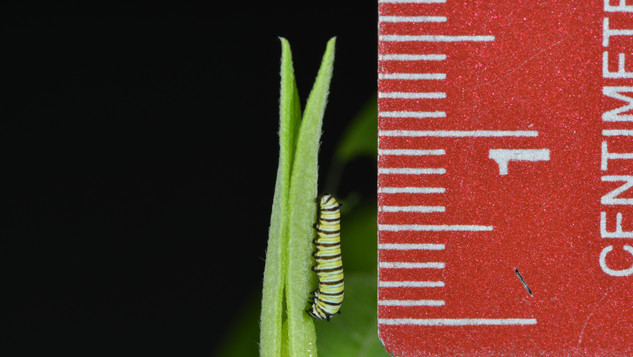 Second Instar ~7 Millimeters