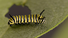 Third Instar Caterpillar