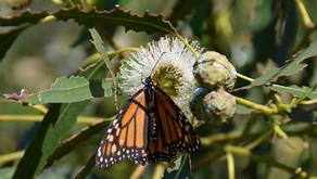 Distressing news for western monarch butterflies