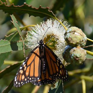 Female Monarch Nectaring on Eucalyptus