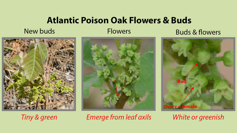 Atlantic Poison Oak Flowers and Buds