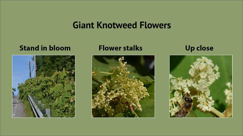 Giant Knotweed Flowers