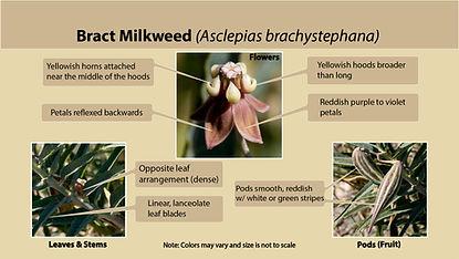 Bract milkweed (Asclepais brachystephana)