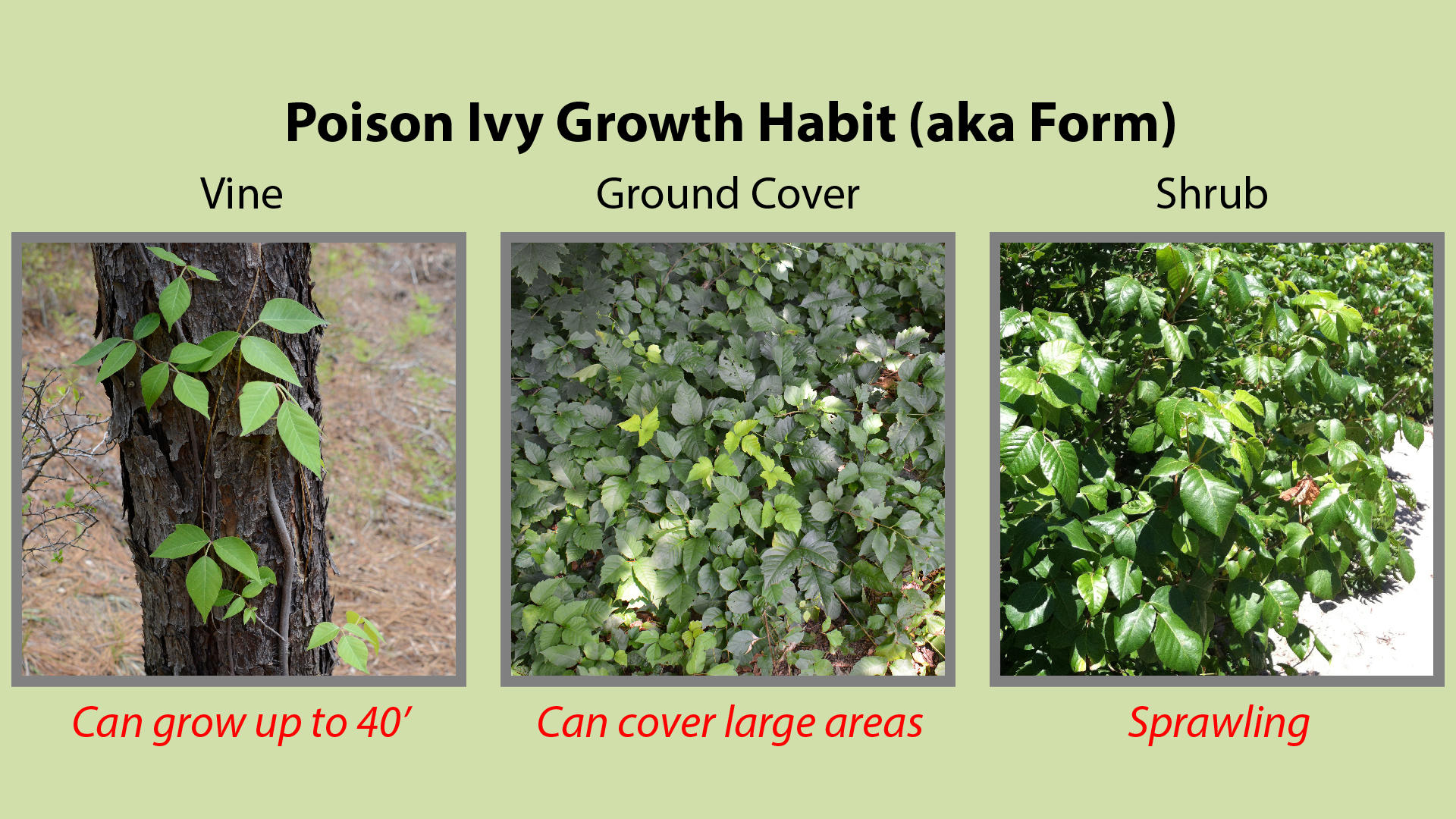 Poison Ivy Growth Habit or Form