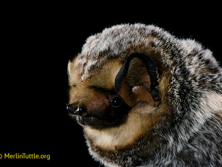 The wonderful world of bats and why we should protect them, even if you don't dig them.