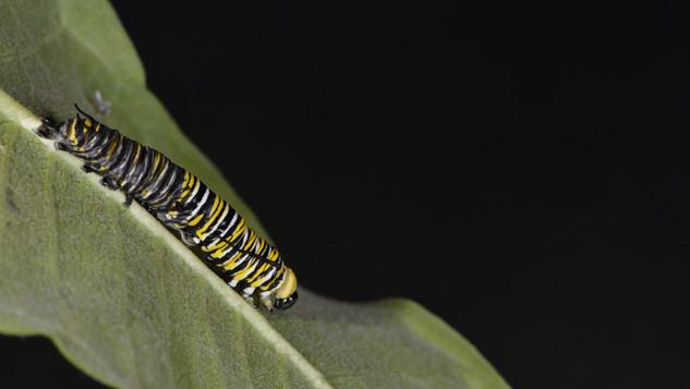 (5 of 11) Fourth Instar Caterpillar Molting