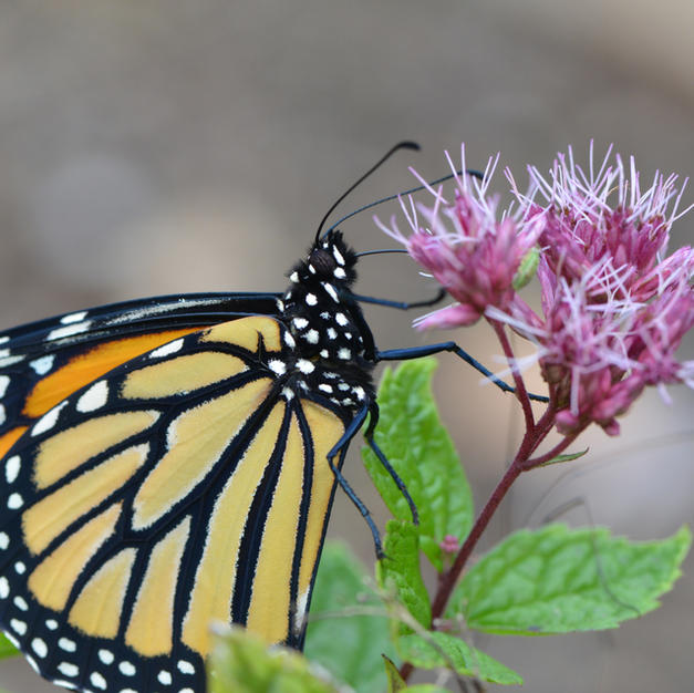 Female Monarch with Proboscis Extended and Nectaring on Joe Pye Weed