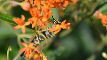 Fifth Instar Feeding on Butterly Weed Flower