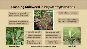 Clasping milkweed (Asclepias amplexicaulis) is our milkweed species of the week