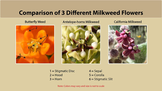 Comparison3MilkweedFlowers.jpg
