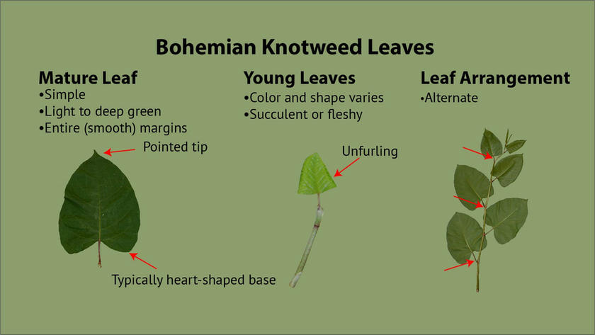 Bohemian Knotweed Leaves