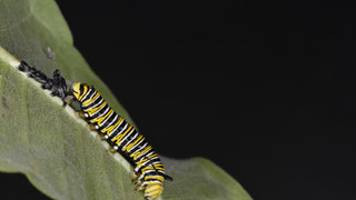 (9 of 10) Fourth Instar Caterpillar Molting