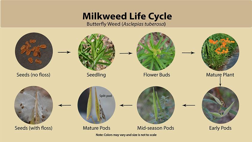 milkweed_Lifecycle.jpg