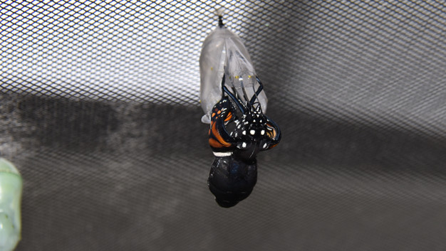 Monarch butterfly eclosing sequence 6 of 9