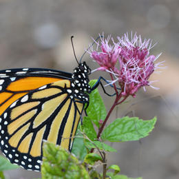 Female Monarch Uncoiling Her Proboscis