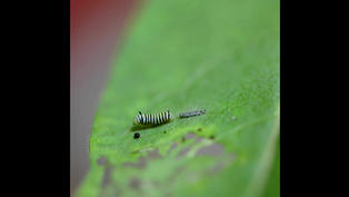 Video: First Instar Molting