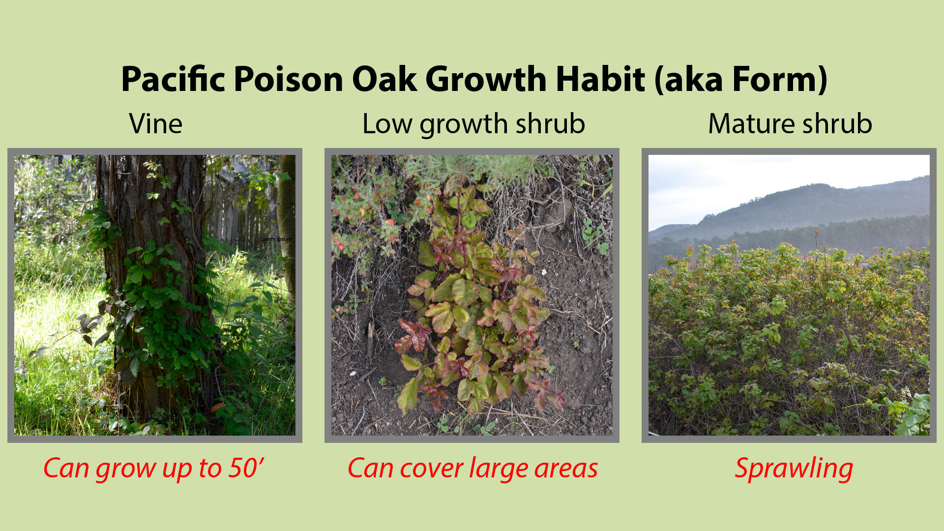 Pacific Poison Oak Growth Habit or Form