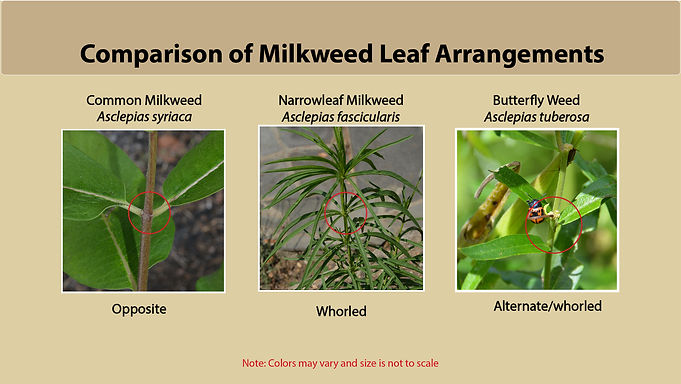 Comparison of Milkweed Leaf Arrangements