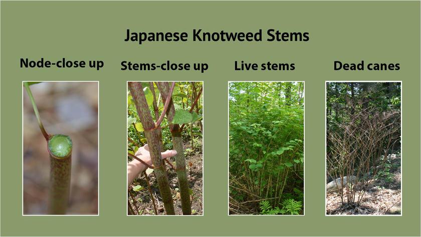 Japanese Knotweed Stems