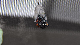 Monarch butterfly eclosing sequence 5 of 9