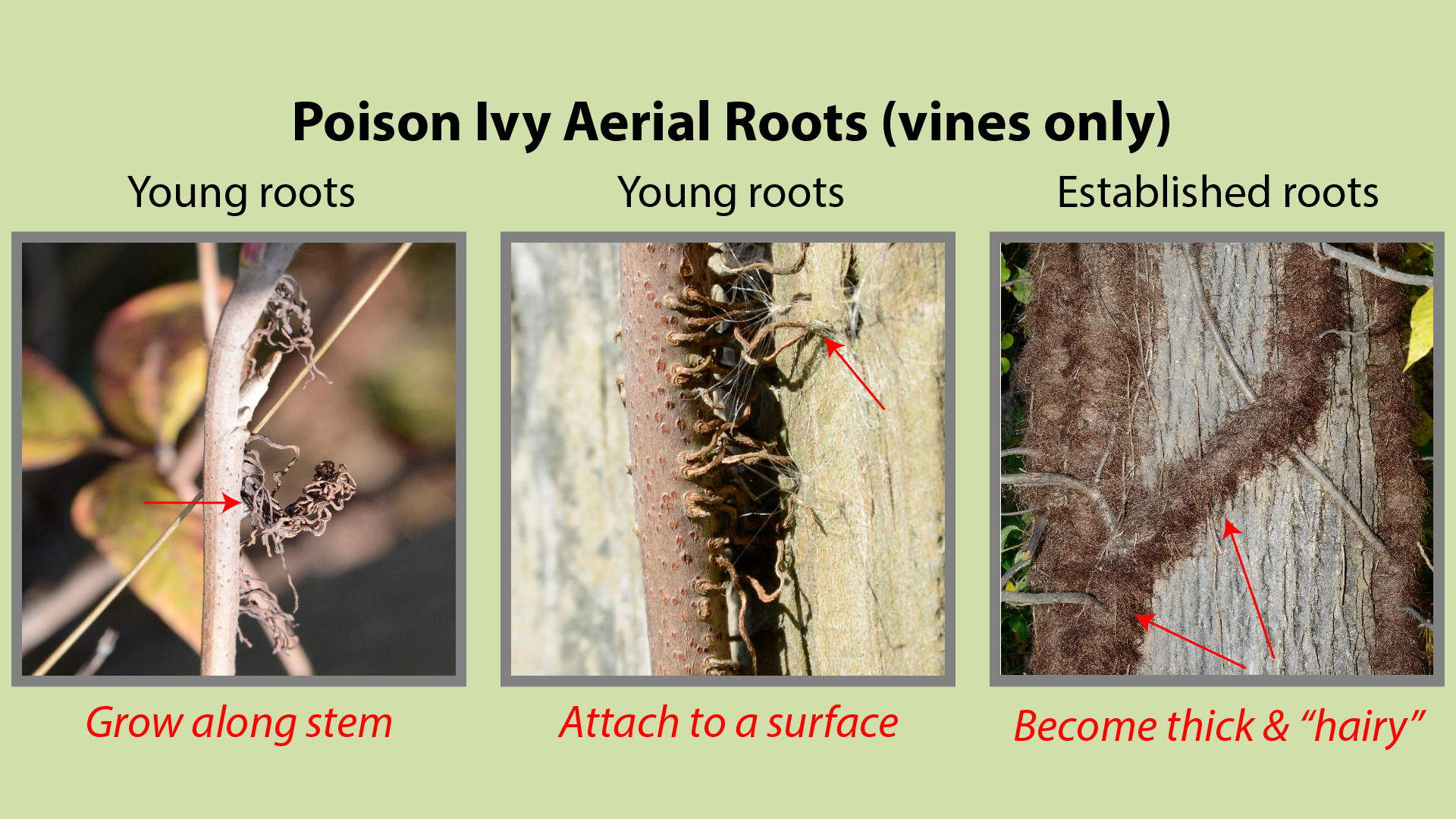 Poison Ivy Aerial Roots